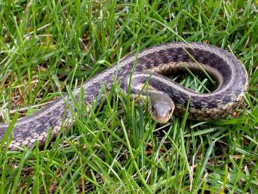 112276-800x600-Common_Garter_Snake