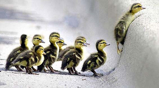 struggling-ducklings